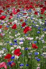 Shirley poppy and Cornflower (houroumono) Tags: papaver   shirleypoppy