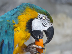 Macaw eating an orange (Tambako the Jaguar) Tags: blue portrait orange green bird yellow fruit zoo nikon colorful eating profile beak perched macaw frauenfeld d4 plttli