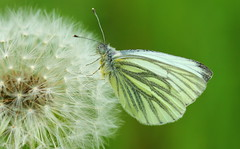 Pieris napi (Earthling81) Tags: