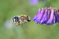 A bee and hairy vetch (shin5963) Tags: flower macro insect flying flight bee hairyvetch