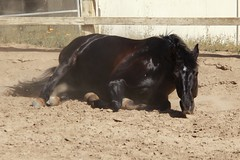Harmonie (ServaneO) Tags: horse black mare dust rolling