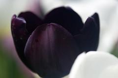 Dark Tulip (alcidesota@yahoo.com) Tags: nikon d3s cabodevassoura nikond3s