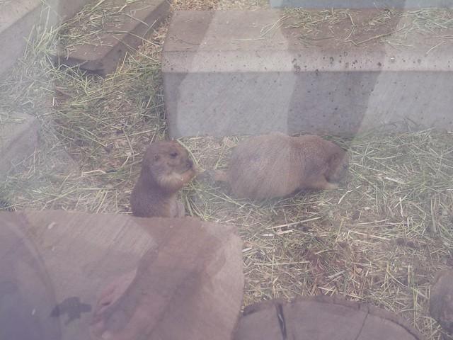 プレーリードッグさんたち!|須坂市動物園