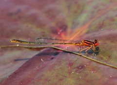 Scarlet Bluet (Enallagma pictum) Male (Rezamink) Tags: usa dragonflies odonata scarletbluet enallagmapictum