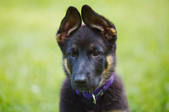 Hera (Timo Vehvilinen) Tags: summer portrait dog puppy dof bokeh germanshepherd canonef135mmf2l