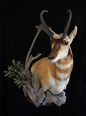 "Animal Art Taxidermy - Antelope Taxidermy • <a style=""font-size:0.8em;"" href=""http://www.flickr.com/photos/27376150@N03/9350887361/"" target=""_blank"">View on Flickr</a>"