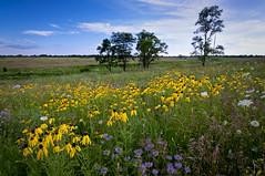 (baldwinm16) Tags: summer nature illinois midwest scenic july il coneflower wildflowers prairie bergamot prairieplants prairieflowers springbrookprairie illinoisforestpreserve springbrookprairieforestpreserve illinoisnaturepreserve natureofthingsphotography