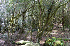Mountain Tree Heath covered in moss (Poytr) Tags: worldheritagesite ericaceae arfp barringtontopsnationalpark trochocarpa cooltemperaterainforest australianrainforesttrees nswrfp papillaria papillariasp trochocarpamontana gloucesternsw uplandarf cooltemperatearf dilgryriver mountaintreeheath