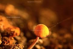 Mushroom (jmlpyt) Tags: sunset red macro mushroom canon photography champignon vgtaux natureetpaysages adivers