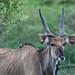 Antilope cheval