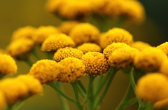 Tansy or Golden Buttons (Tanacetum vulgare L.) (Sanunas) Tags: flowers plants flores nature fleurs blumen fiori tansy tanacetumvulgarel goldenbuttons awesomeblossoms