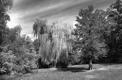 Big Willow (Joe Josephs: 2,600,180 views - thank you) Tags: newyorkcity trees blackandwhite centralpark ricohgr centralparknewyork blackandwhitephotography naturephotography travelphotography outdoorphotography joejosephs joejosephsphotography copyrightjoejosephsphotography copyrightjoejosephs2013