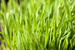 Wheatgrass (Ervins Strauhmanis) Tags: food plant green nature field grass rural garden outdoors leaf natural vibrant wheat grow meadow fresh growth land growing blade organic lush patch freshness wheatgrass