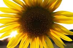 suns #2 (ΞSSΞ®®Ξ) Tags: pentax k5 ξssξ®®ξ