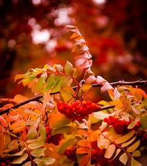 Autumn Leaves (ibraimov_miras) Tags: autumn nature leaves kazakhstan astana 2470 d7000