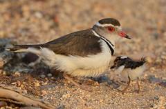 Three-banded Plover (Charadrius tricollaris) & Chick (Ian N. White) Tags: chick explore gaborone botswana charadriustricollaris threebandedsandplover