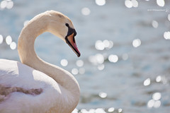 S is for ... (RichardBeech) Tags: park sunlight lake nature water sparkles swan bokeh wildlife sunny s dorset letter shape sparkling poole tsc sundaychallenge canon5dmarkii richardbeech