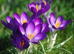 I Find That Crocuses Always Put a Spring in My Step! (antonychammond) Tags: flower garden spring crocus croci crocuses flickrflorescloseupmacros vp7 virtualjourney vpu1 sunrays5 vpu2 vpu3 vpu4 vpu5 vpu6 vpu8 vpu9