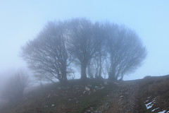 Gruppo di faggi secolari nella nebbia. (supersky77) Tags: autumn alps fog alpes alpen nebbia autunno alpi lombardia beech fagus lombardy lario faggio buchen fagussylvatica prealpi hetre palanzone triangololariano
