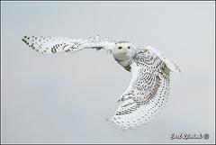 First wingflap after take-off.. (Earl Reinink) Tags: nature nikon raptor owl earl bif snowyowl nikond4 birdphotograph snowyowlinflight earlreinink reinink 201312061009