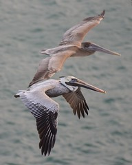 Adult and Juvenile Brown Pelicans, Atlantic [1349] (cl.lin) Tags: bird nature nikon florida wildlife birding sigma pelican brownpelican birdinflight sigma50500mm nikond600