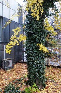 Bršljan je napao stablo ginkga - The ivy attacked the ginkgo tree