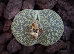 Lithops sp. (Zachary Cava) Tags: plant lithops botany livingstone stoneplant