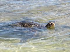 Honu /green sea turtle (kenjet) Tags: ocean sea beach hawaii turtle pacificocean kauai poipu honu seaturtle greenseaturtle