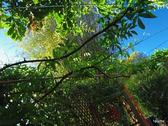 Brilliant Bright Light Sunrise  3-8-2014 5-26-018 (1guy2be) Tags: light color home nature sunrise tampa bright pentax florida atmosphere bamboo today mangotree brilliant sanctuary assorted abode urbanhabitat landscapephotography carolinajessamine evergreenwisteria sherwoodheights 1guy2be in2it2much richardpriceelliott homesanctuary