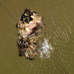 Cyclosa sp. Side (Ash Bradford) Tags: animal animals bug spider spiders arachnid bugs arachnids arthropods animalia arthropoda arachnida orbweaver arthropod araneae orbweavers araneidae cyclosa chelicerata araneomorphae chelicerate entelegynes chelicerates sx30 trashlineorbweaver trashlineorbweavers hclfhbioblitz2014 img540713