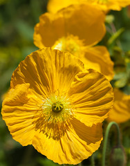 YellowPoppies-2 (Travis Photo Works) Tags: life flowers red wild summer orange plant black flower macro green nature floral beautiful up field yellow closeup garden season landscape leaf spring close bright image blossom background drop single stamen poppy poppies pollen
