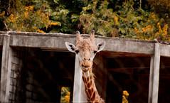 Giraffe (Jeferson Felix D.) Tags: nature animal animals canon eos zoo natureza giraffe girafa zoologico 18135mm 60d canoneos60d