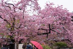 DSC_7207.jpg (d3_plus) Tags: street sea sky flower japan scenery cloudy bloom  cherryblossom  sakura streetphoto  shizuoka   izu kawazu kawadu    j3       nikon1  kawadusakura  1nikkor185mmf18 nikon1j3 kawaducherryblossomfestival