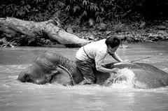 Gonzalez_Elephant Man (fjrgonzalez photo) Tags: travel elephant man thailand golden triangle bath pride jungle