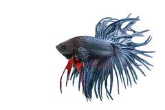Betta (da nokkaew) Tags: pet fish black color eye nature water beauty swimming aquarium colorful background exotic tropical pace aquatic fighting betta isolate
