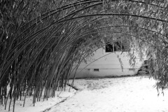 Bamboo Tunnel (imjackhandy) Tags: bw snow ice knoxville tennessee tunnel bamboo bent notbroken meadowlarklane