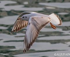 Slender-billed gull (ALJUFAIN KUWAITI) Tags: me birds canon rebel flying photo explore 7d falcon birdsinflight kuwait bye ok   markii hussain  jahra  saqer birdsreserve sigma150600  7dii 7dmarkii  aljufainkuwaiti  aljufain   7dmii