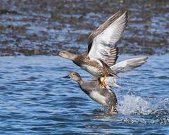 Gadwall, Cove Island (JEO126) Tags: park island nikon cove flight stamford tamron takeoff 70300 gadwall d5300