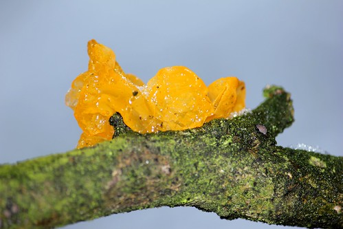 "Goldgelber Zitterling (Tremella mesenterica) (6/14) • <a style=""font-size:0.8em;"" href=""http://www.flickr.com/photos/69570948@N04/16241472667/"" target=""_blank"">View on Flickr</a>"