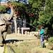 Male Indian Elephant, Rasukumaru of  Yokohama Zoological Gardens : インドゾウのラスクマル(♂)