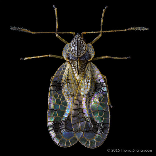 Azalea lace bug - Stephanitis pyrioides - Oregon