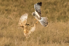 Northern Harrier was trying to seize the vole from Short-eared Owl (Eric SF) Tags: california fremont owl bestpractices shortearedowl northernharrier coyotehillsregionalpark ebparks ebparksok