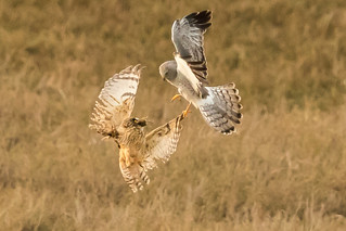 Northern Harrier was trying to seize the vole from Short-eared Owl