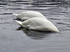 synchron! (mama knipst!) Tags: winter bird swan schwan vogel villenhofermaar