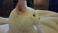 kitty 2 (nhaps34) Tags: cats kittens kitties felines catsitter
