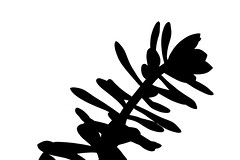Crassula Ovata (Christian Gonzlez Vern) Tags: macro succulent crassula suculenta ovata
