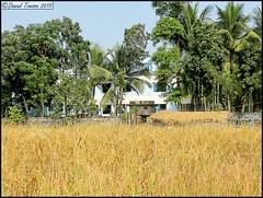 Khan Bari (dark-dawud) Tags: house village ricefields sylhet bangladesh nabiganj khanbari khalaborpur