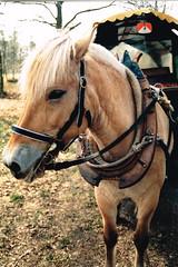 Kutschfahrt April 1996 im Münsterland (rainer.marx) Tags: film analog kutsche 20 pferd münster praktika bx planwagen kleinbild