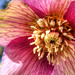 Helleborus Hybrid / Christmas Rose / Schneerose