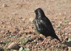 Spotless Starling (likrwy) Tags: bird nature starling marrakech menara spotless unicolor sturnus